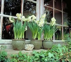 narcissus bridal crown my garden gardens