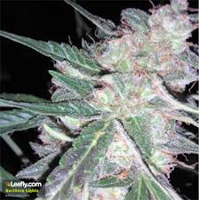 Marijuana Northern Lights Strain Review NCSM