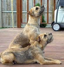border terrier dog breed information and pictures