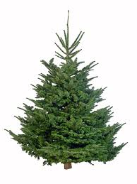 6ft Christmas Tree by British Grown Christmas Trees Delivered To Your Door