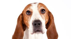 Do Bluetick Coonhounds Shed by Treeing Walker Coonhound Dog Breed Information American Kennel Club