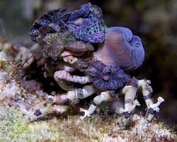 decorator crabs eat fish 573 best braychura true crabs images on