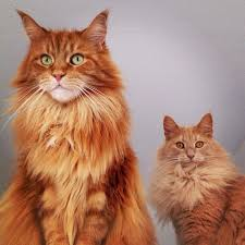 forest cat vs maine coon 585 best cats maine coon images on animals maine coon