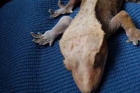 Crested Gecko Shedding Help by Crested Gecko Health Problem N00b Does Not Know How To Share