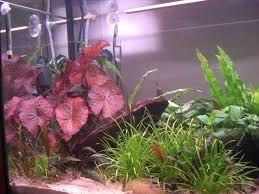 tiger lotus uk aquatic plant society