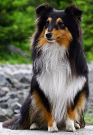 shetland sheepdogs sheltie dogs good and bad traits