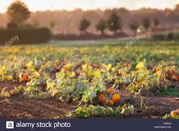 Half Moon Bay Pumpkin Patch by Pumpkin Field Stock Photos U0026 Pumpkin Field Stock Images Alamy