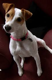 455 Best Fox Terrier Smooth Images On Pinterest | Jack Russells ... Jack Russell Gracie Sold To Chris Dearmon Snow Creek 1813 Best Triers Images On Pinterest 743 Russell Long Haired Jack Trier Puppies For Sale In Kent Google The Russellcolbath Historic Homestead Site The White Mountains New Hampshire Kancamagus Highway Northern England Villages Cute Trier Dog On Stock Photo 574920391 Shutterstock Farm Photos Images Alamy Male Teacup Chihuajack Russellix Lantern Pictures Jackhua 1588