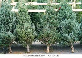 Christmas Trees In The Farm Market For Sale Holiday Season