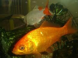 quels poissons d eau douce choisir pour aquarium le
