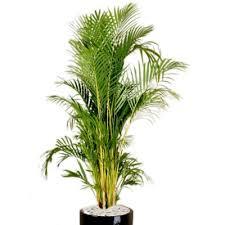 golden palm in pots plant info golden palm indoor plant hire tropical plant