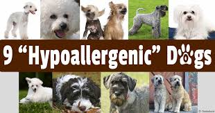 hypoallergenic dog breeds for people with allergies