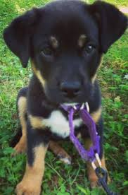 Do Shar Pei Lab Mix Shed by Rottweiler Lab Mix Labrottie All Information You Want To Know