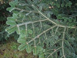 Silver Tip Christmas Tree Los Angeles by Red Fir Silver Tip Bishop And Mathews Christmas Trees