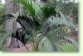kentia palmen pflege der palme pflanzenfreunde