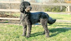 Do Giant Schnauzers Shed by Schnoodle Designer Dog Breed Miniature And Giant Schnoodles