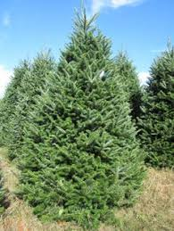 Frasier Christmas Tree Cutting by Balsom Fir Tree Balsam Fir Trees Oh What Beautiful Trees