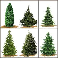 Have A Real Tree For Once Because They Smell Lovely Best Christmas Scent Scentsy Warmer Premium Holiday Peace Essential Oils