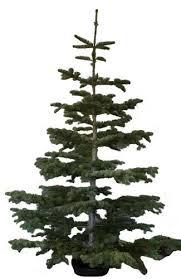 Nordmann Fir Christmas Trees Wholesale by Fresh Cut Christmas Trees Los Angeles San Fernando Valley U2013 Tina U0027s
