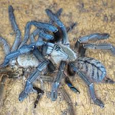 Do Tarantulas Shed Their Legs by This Man Is Obsessed With Spiders Star2 Com
