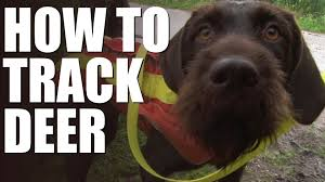 Do Wirehaired Vizslas Shed by How To Track Wounded Deer With A Dog Youtube