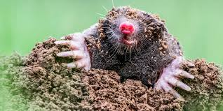 Backyard Moles - How To Get Rid Of Moles How To Get Rid Of Moles Organic Gardening Blog Cat Captures Mole In My Neighbors Backyard Youtube Animal Wikipedia Identify And In The Garden Or Yard Daily Home Renovation Tips Vs The Part 1 Damaging Our Lawn When Are Most Active Dec 2017 Uerstanding Their Behavior Mole Gassing Pests Get Correct Remedy Liftyles Sonic Molechaser Alinum Covers 11250 Sq Ft Model 7900