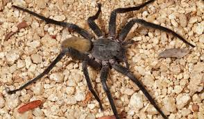 Remains Of The Day Spiders by Huge New Spider Species Discovered In Mexican Cave Smart News