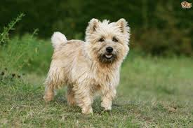 Do Wheaten Terrier Dogs Shed by Cairn Terrier Dog Breed Information Buying Advice Photos And