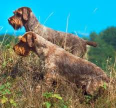 Griffon German Wirehaired Pointer Shedding by Wirehaired Pointing Griffons Good And Bad Traits