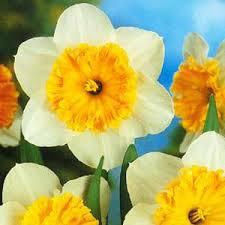 cheap bulbs cheap daffodil bulbs essex