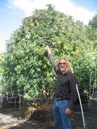 comment sortir les plantes de cannabis en extérieur du