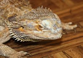 reptiles what is the white spot on my bearded dragon s head it