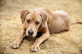 Do Shar Pei Lab Mix Shed by Catahoula Leopard Dog Breed Information Pictures Characteristics