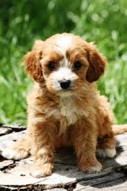 do cavapoos shed a lot 153 best cavapoo images on dogs shih poo and cavapoo