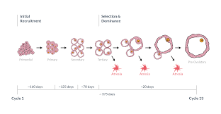 Shedding Of Uterine Lining Before Period by Ovulation Understanding Ovulation To Get Pregnant