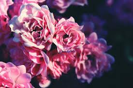 Free Images Blossom Vintage Sweet Retro Flower Petal Bloom Autumn Romance Romantic Garden Close Flora Rose Bush Flowers Background Shrub