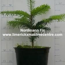 Nordmann Fir Christmas Tree Seedlings by Limerick Christmas Tree Centre Christmas Trees Glendiheen