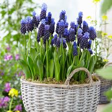 zyverden grape hyacinths bulbs multi colored latifolum set of