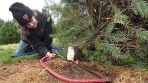 Aspirin Keep Christmas Trees Alive by How To Keep Your Christmas Tree Alive Longer Over The Holidays
