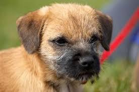 border terrier temperament personality