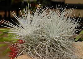 Plants For Bathroom Without Windows by How To Grow And Care For Air Plants Hgtv
