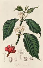 Coffee Plant Clipart Botanical Illustration 2