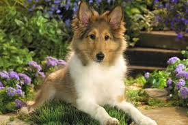 everything about your shetland sheepdog luv my dogs