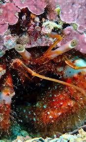 Halloween Hermit Crab Care by Electric Blue Hermit Crab Calcinus Elegans Species Profile Care
