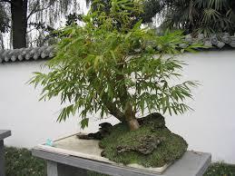 bambou nain pour mon bureau lesbambous fr forum des fous de bambous