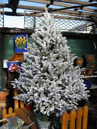 Flocking Christmas Tree Kit by Christmas Trees Fraser Fir Flocked U2013 Huntersgardencentre Com