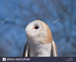 Barn Owl (Tyto Alba) Is An Uncommon Owl In The USA. This Is ... Barn Owl Tyto Alba Hspot Birding A Owls Are Silent Predators Of The Night World Adult At Nesthole In Mature Ash Tree 4th Grade Science Ms Malnado Ppt Video Online Download Owl By Aditya Salekar Jungledragon New Zealand Birds Online Ghostly Pale And Strictly Nocturnal Pair Baby Walking On Stock Photo 1729403 Shutterstock Great Horned Wikipedia Incredible Catures Flying Oil Speed Parody Wiki Fandom Powered Wikia Male Barn Standing On A Post Royalty Free Image