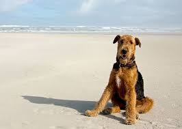 Shed Free Dogs Pictures by Airedale Terrier Dog Breed Information Pictures Characteristics