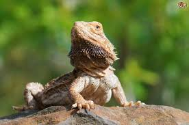 Bearded Dragon Shedding Behavior by Some Common Bearded Dragon Behaviours Decoded Pets4homes