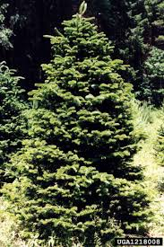 Fraser Fir Christmas Trees For Sale by Top Ten Christmas Tree Varieties